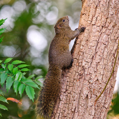Pallas's squirrel