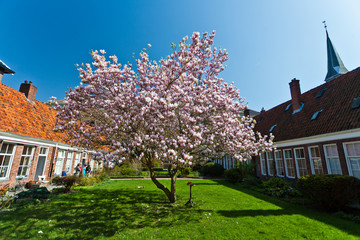 Beautiful tulip blossom trees in bloom