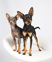 Image of little cute dogs