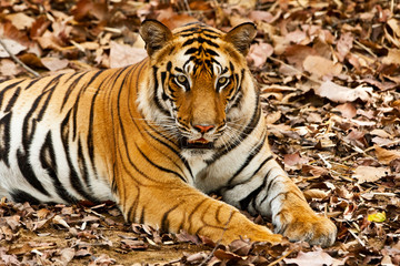 Large male Bengal tiger in Bandhavgarh National Park, India