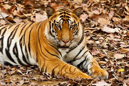 Duże płci męskiej Tygrys bengalski w Bandhavgarh National Park, Indie