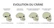 Evolution du crâne
