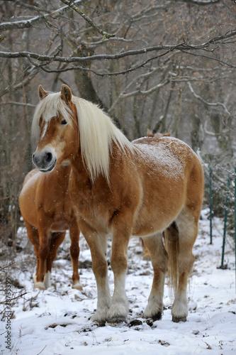 Fototapeten,pferd,verschneit,krupp,schultern