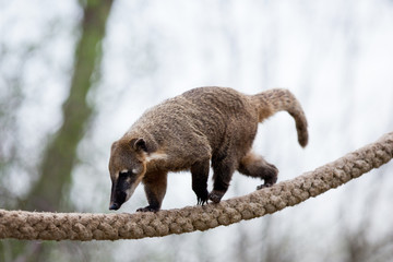 portrait of a very cute White-nosed Coati (Nasua narica)