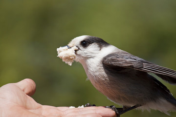 Gray Jay (Perisoreus canadensis) Feeding Out of Someone's Hand