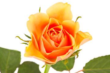 Einzelne Rosenblüte