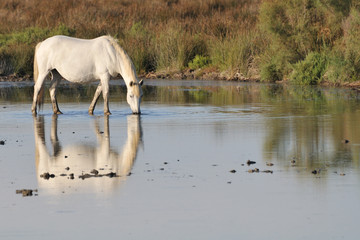 Camargue horse drinking in shallow a pond