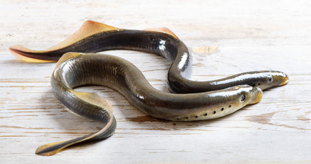 Two lampreys