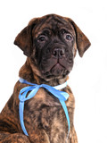 Brindled Bullmastiff puppy portrait poster