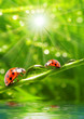 Two ladybugs on a dewy grass.