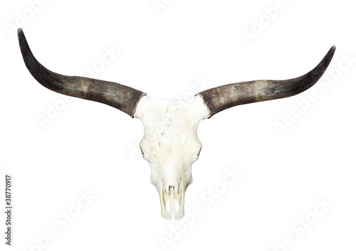 Fotobehang Koe Bull skull with long horns.