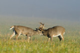 Two whitetail deer bucks sparring in an open meadow