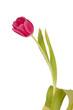 Frühlings Tulpe Pink