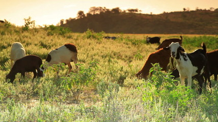 Herd of goats grazing in the grass in Kenya.