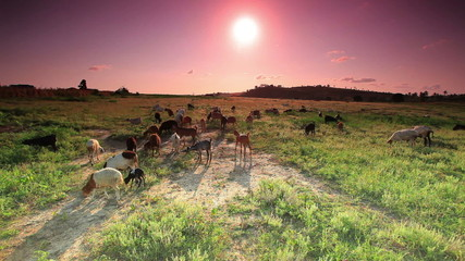 Herd of goats grazing in Kenya at sunrise.