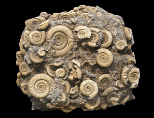 Fossilized ammonites, isolated on black. About 40 cm across.