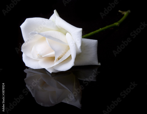 Single fallen white rose on black background © nexusseven