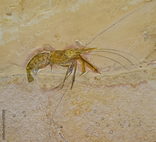 Fossil of a prawn or shrimp. Aeger tipularius.