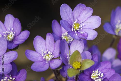 Rare blue Anemones
