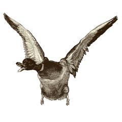 Canard migrateur