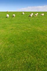 Schafweide im Weitwinkel