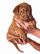 Dogue De Bordeaux puppy in the hands