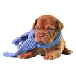 Puppy wearing scarf