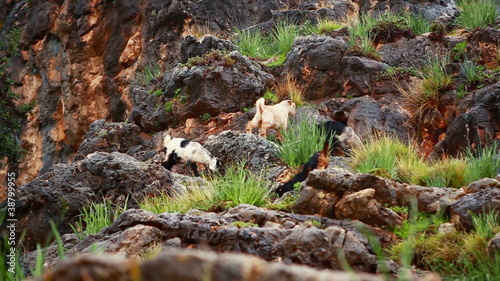 Stock Video Footage of goats grazing on a rocky hillside in Israel.