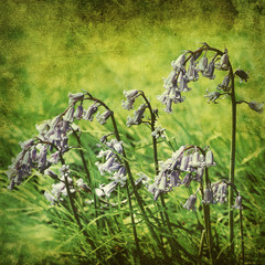 old blue bells photo