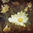 vintage daisy photo