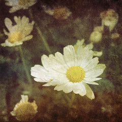 vintage daisy photo