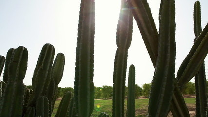 Stock Video Footage of sunlit cactus in Israel.