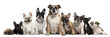 Group of Bulldogs and one Pug in front of white background