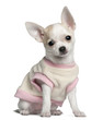 Chihuahua puppy, 11 weeks old, sitting in front of white
