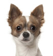 Chihuahua, 9 months old, in front of white background
