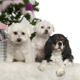 Bichon Frise, Maltese and Cavalier King Charles Spaniel poster