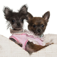 Chihuahua puppy and Chinese Crested Dog puppy in sleigh