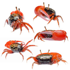 fiddler crab set collection