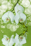 Fototapety Orchidee - Orchid