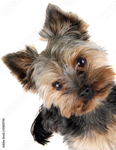portrait of Yorkshire Terrier in front