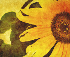 old sunflower