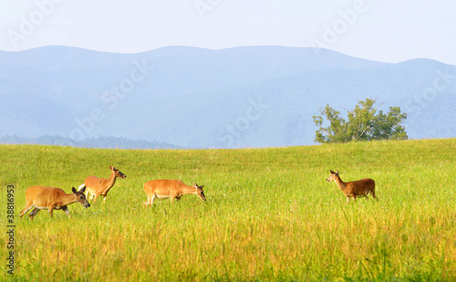 Wild deer at Cades Cove valley in Smoky Mountains