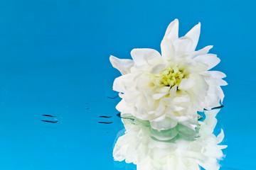 Хризантема на зеркале в воде