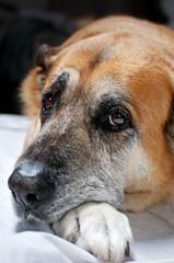 vecchio cane riposa