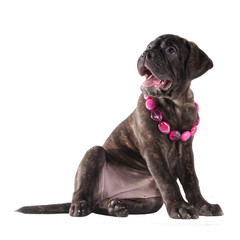 Cute puppy with pink beads