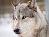 Fototapeta zwierzę - piękny - Dziki Ssak