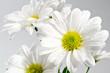 水滴のかかった白い菊の花