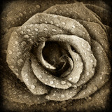 Sepia rose background