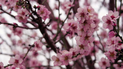 Stock Video Footage of pink tree blossoms shot in Israel at 4k with Red.