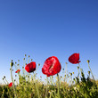 Red Poppy flowers with blue sky background